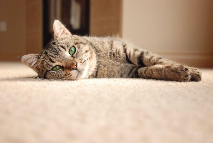 猫はフローリング床材ですべる!猫のためのフローリング床のアイデア5選