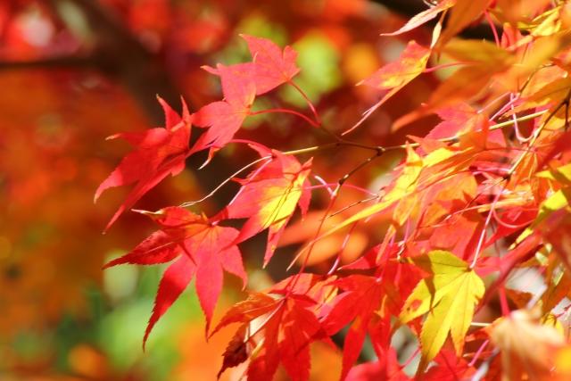 今日の季節 11/2〜11/6 楓蔦黄なり(もみじつたきなり)