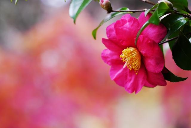今日の季節 11/7立冬(りっとう)、7~11日 山茶始めて開く(つばきはじめてひらく) 画像