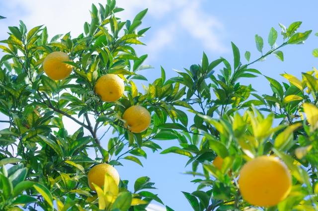 今日の季節 12/2〜12/6 橘始めて黄なり(たちばなはじめてきなり)