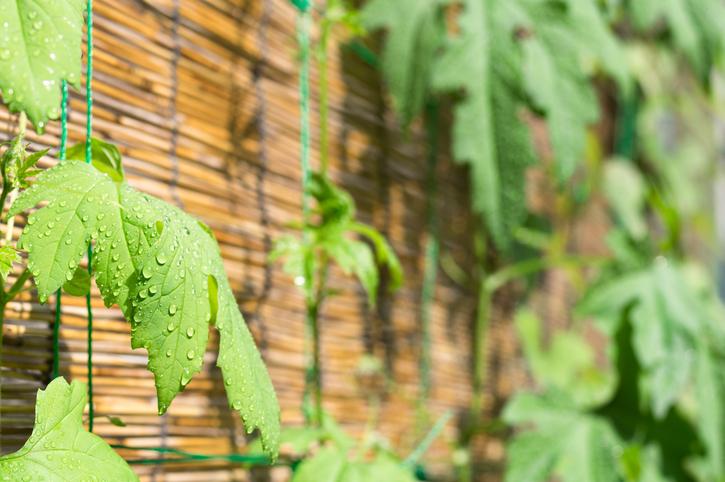グリーンカーテンにおすすめの植物をご紹介!